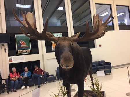 Moose in Portland ME Airport
